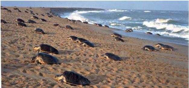 Turtle Breeding - Gahirmatha beaches - Backpackers Group