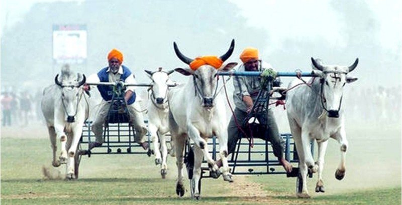 bullock cart racing at kila raipur the rural olympics of india the backpackers group