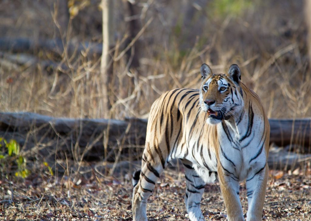 pench-tiger-image