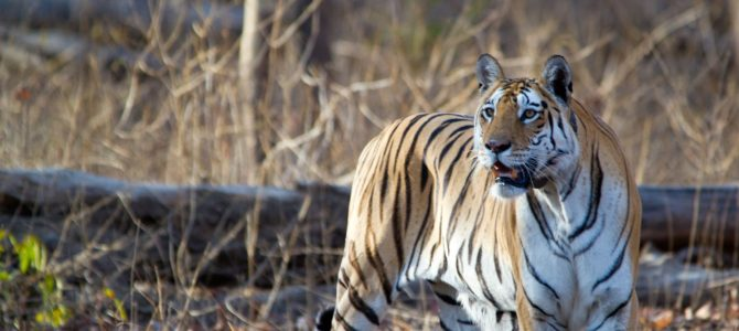 Wildlife Trip To Pench Tiger Reserve
