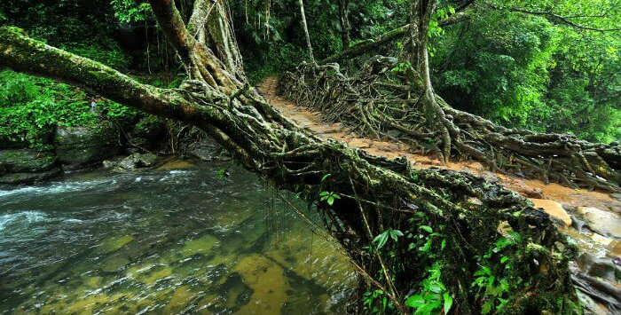 Living Root Bridges - Meghalaya - Khasi And Kwai Folktale - North East Travel - The Backpackers Group.