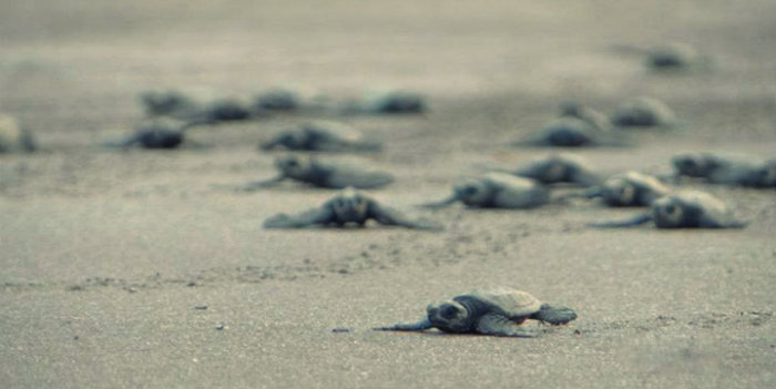 Velas Beach - Home of Turtles Festival - Maharashrta - The Backpackers Group