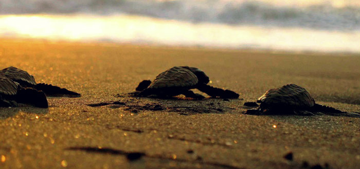 Velas Beach - Olive Ridley turtles Festival - Maharashrta - The Backpackers Group.
