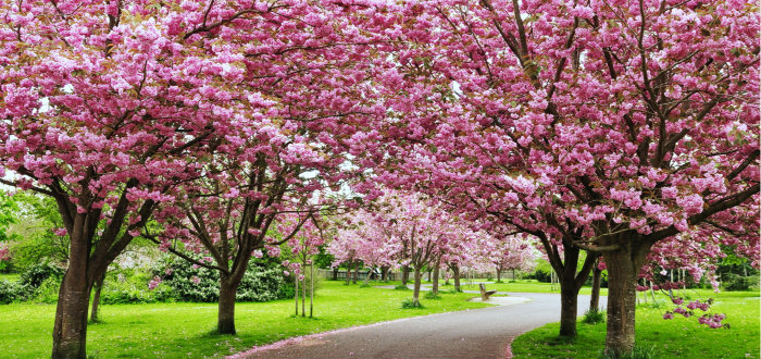 Cherry Blossom Festival is the best gift which nature could bequest